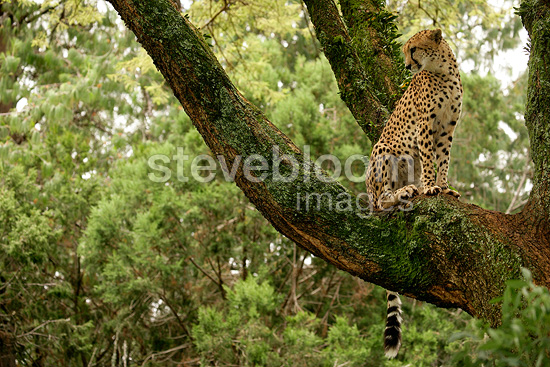 Cheetah sat on a branch in the Masai Mara NR in Kenya (Cheetah)
