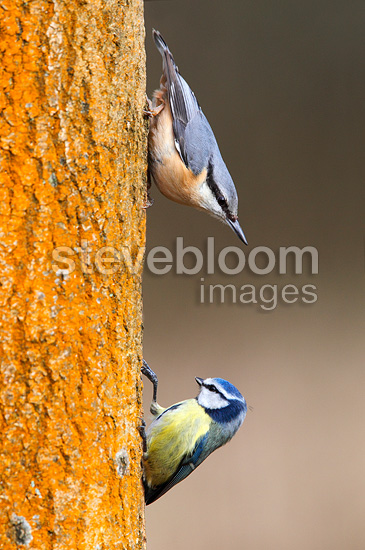 Wood Nuthatch & Blue tit on a tree trunk (Wood Nuthatch; Blue tit)