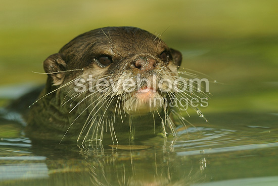 Asian Small-clawed Otter Maine-et-Loire France (Oriental Short-clawed Otter )