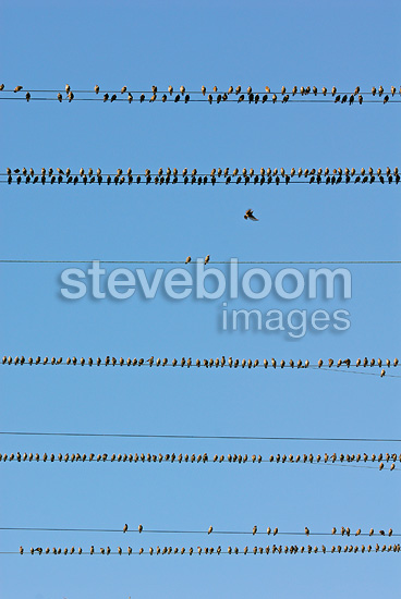 Gathering of common starlings on power lines in Switzerland (Starling)