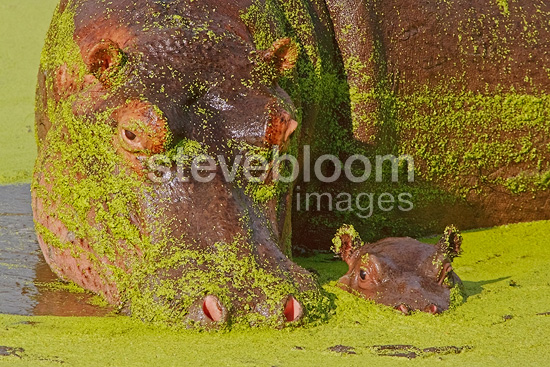 Female Hippopotamus with her calf in the water, covered with duckweed, South Africa