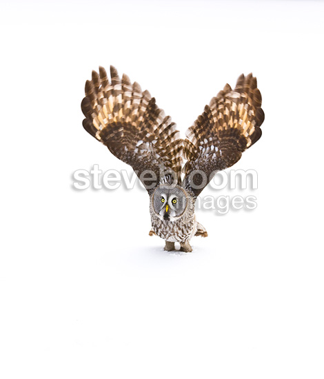 Great Grey Owl flying away in winter Scandinavia (Great Grey Owl)