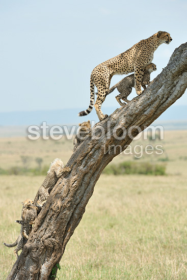 Cheetah female and five young people on a tree trunk Kenya (Cheetah)