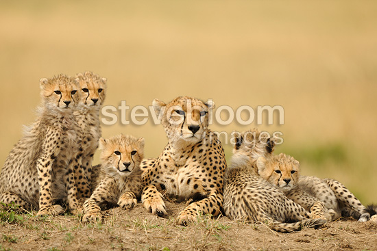 Cheetah female with five young people on a mound Kenya (Cheetah)