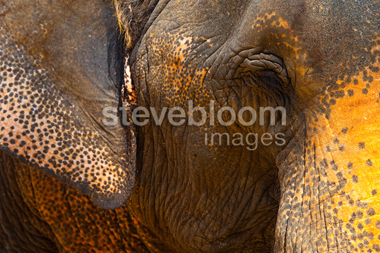 Portrait of Asian elephants Krabi Thailand (Asian elephant)