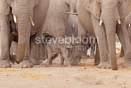 Baby elephant in the middle of the flock in Namibia (African elephant)