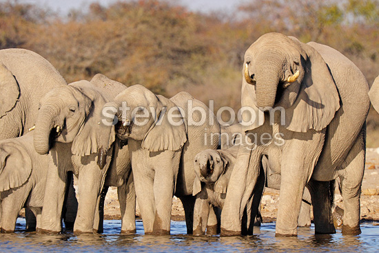 Elephants drinking at a watering place Etosha NP Namibia (African elephant)