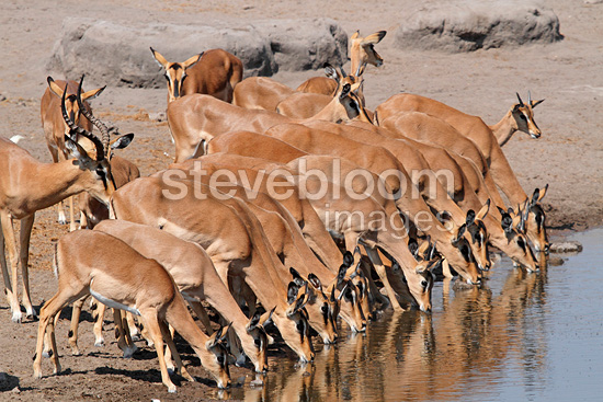 Black-faced Impala at a waterhole in Etosha NP in Namibia (Black-faced Impala)