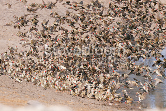 Gathering of Red-billed Quelea Etosha NP Namibie (Red-billed Quelea)