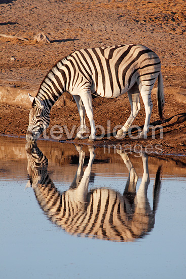 Zebra drinking at sunrise at a waterhole Etosha NP Namibia (Burchell's zebra )