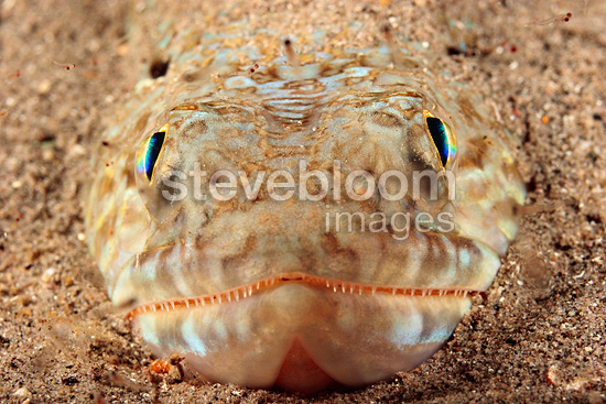 Sand Diver half buried in sand Dominica Caribbean Sea (Lizardfish)