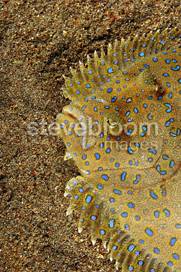Portrait of Peacock Flounder on sand, Dominica (Peacock Flounder)
