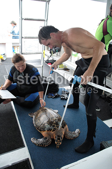 Measure Hawksbill Sea Turtle Juno Beach Florida USA (Hawksbill sea turtle)