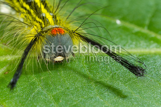 Caterpillar on a leaf Ranomafana Madagascar