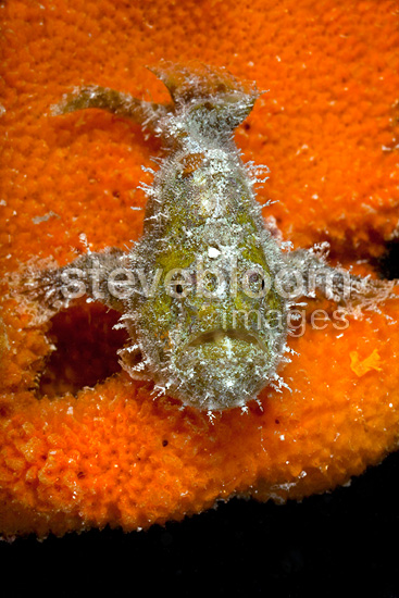 Freckled frogfish with its mouth open Tuamotu (Freckled Frogfish)
