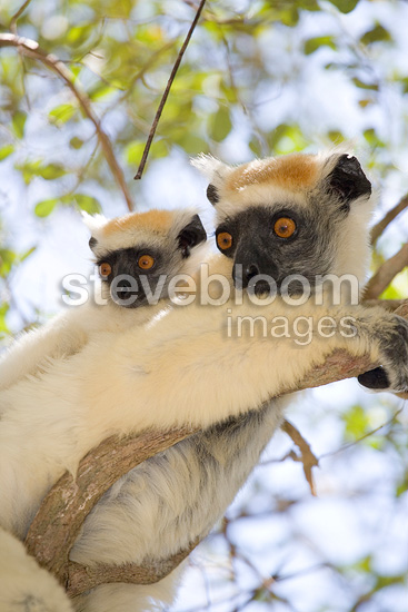 Golden-crowned sifaka adult and young Madagascar (Golden-crowned Sifaka)