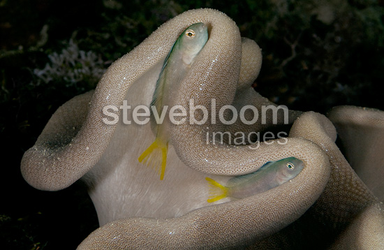 Harptail blennies sleeping in soft coral Mozambique