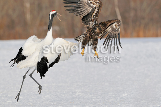 Red-crowned Crane arguing with a White-tailed Eagle Japan (White-tailed Eagle; Red-crowned Crane)