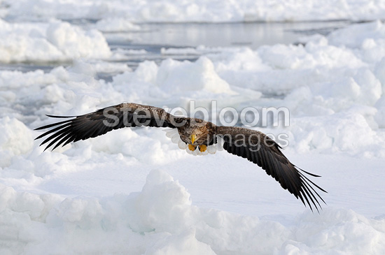 White-tailed Eagle in flight over the pack ice Japan (White-tailed Eagle)