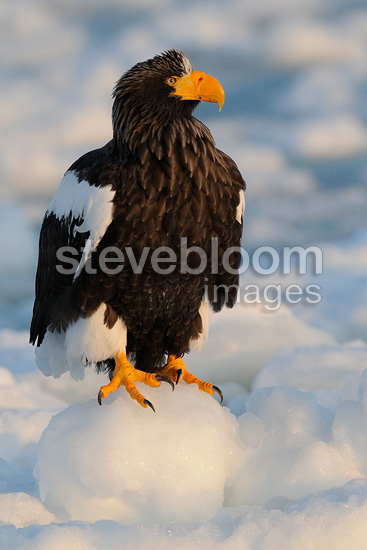 Steller's Sea Eagle standing on ice at Japan (Steller's Sea Eagle)