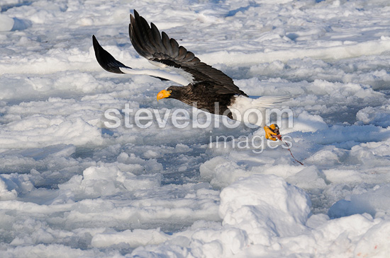 Steller's Sea Eagle in flight over the pack ice Japan (Steller's Sea Eagle)