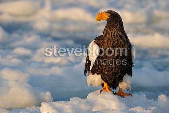 Steller's Sea Eagle standing on the ice Japan (Steller's Sea Eagle)