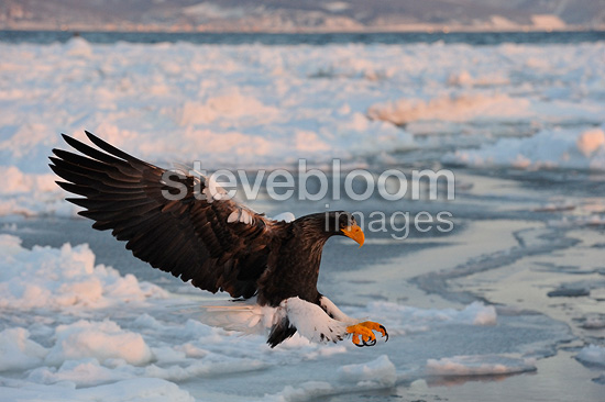 Steller's Sea Eagle in flight Japan (Steller's Sea Eagle)