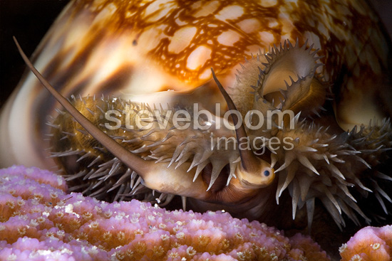 Reticulated Cowrie crawling at night Tuamotu