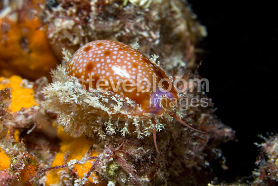 Honey Cowrie crawling at night Tuamotu