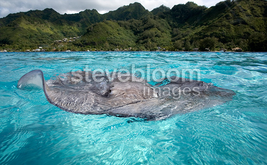 Pink Whipray swimming at the surface of water Moorea (Pink whipray)