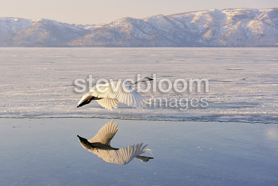 Whooper Swan in flight above water Japan (Whooper swan)