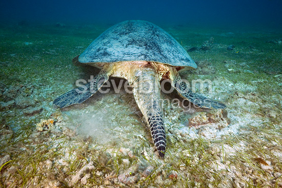 Tail of a Green turtle male Mayotte (Green sea turtle)
