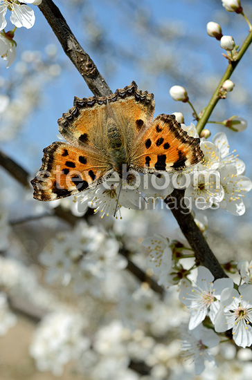 Small Tortoiseshell foraging on to Blackthorn blooming