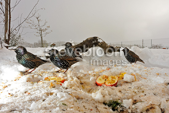 Common starlings eating apples in a garden in winter (Common Starling )