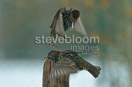 Common starlings in flight quarreling Dombes France (Common Starling )