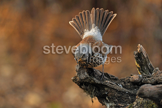 Fieldfare on a trunk Is�re France (Fieldfare)