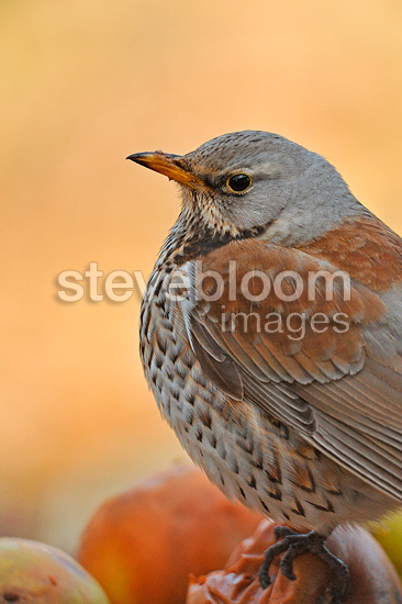 Fieldfare on the ground Isere France (Fieldfare)