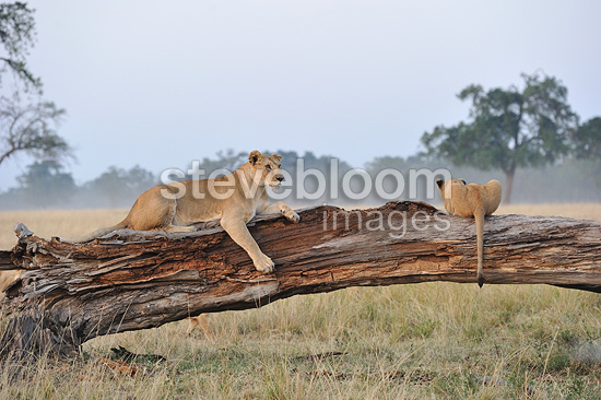 Lioness & big cub laying on a fallen dead tree trunk Kenya (African lion)