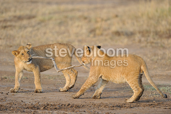 Two big cubs Lions playing with a piece of wood Kenya (East African lion)