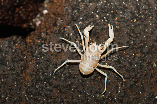 Small albino blind crab endemic from Lanzarote island Canary
