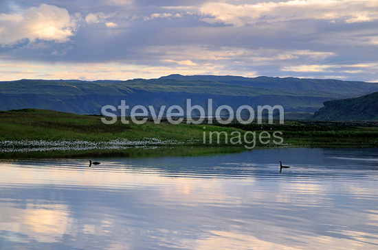 Pair of Loons on a lake in Iceland (Loon)