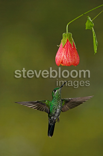 Green crowned brilliant female gathering nectar Costa Rica (Green-crowned Brilliant  (Hummingbird))
