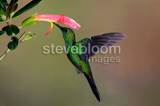 Green crowned brilliant male gathering nectar Costa Rica (Green-crowned Brilliant  (Hummingbird))