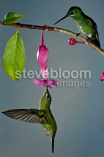 Green crowned brilliants females on a Drymonia Costa Rica (Green-crowned Brilliant  (Hummingbird))