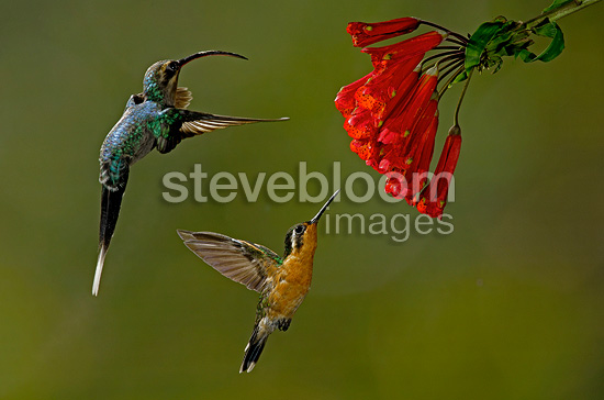 Hummingbirds next to a Bomarea Costa Rica (Green-crowned Brilliant  (Hummingbird))