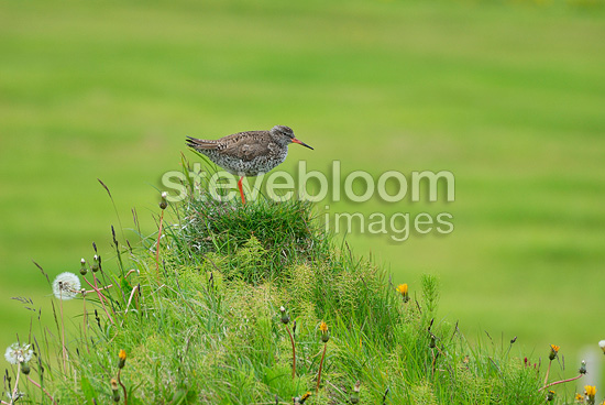 Common Redshank Iceland (Redshank)