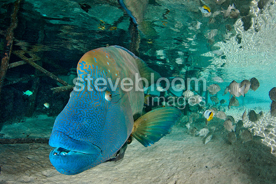 Humphead Wrasse under a pontoon, Fakarava, French Polynesia