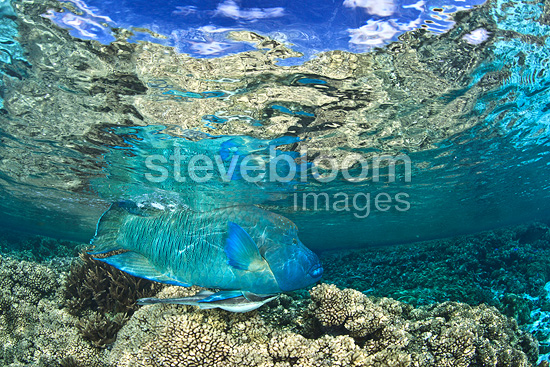 Humphead Wrasse under surface, Fakarava, French Polynesia