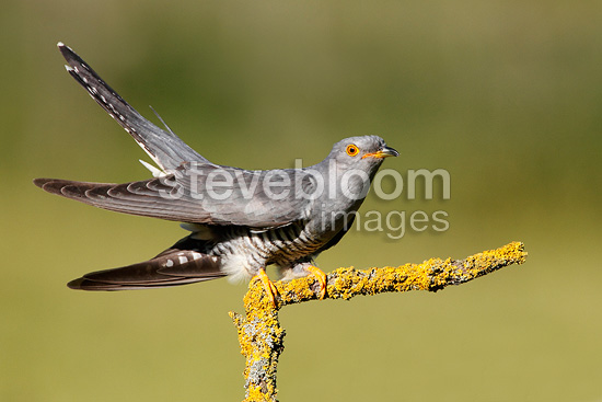 Cuckoo perched on a dead branch, Spring, England, UK