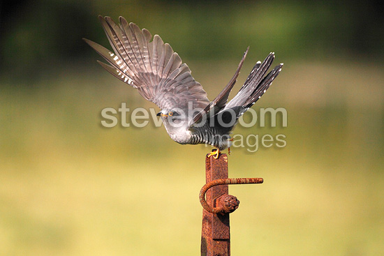 Cuckoo perched on a rusty piece of steel, Spring, England, UK